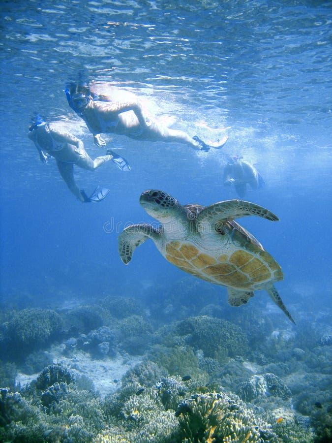 Bikini swim with sea turtle royalty free stock photography