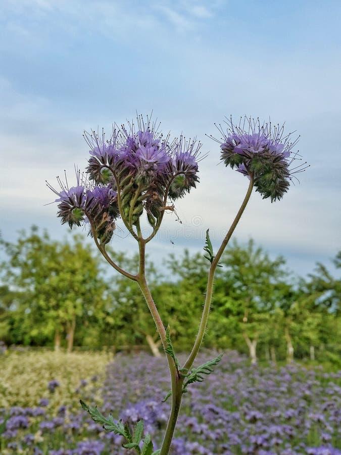 Bikupa för Phacelia fältlantgård arkivfoto