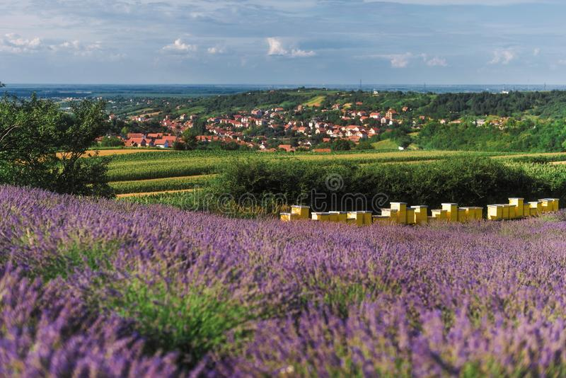 Bikupa på att blomma lavendelfältet arkivfoto