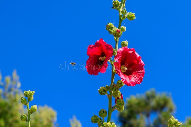 Biländer på en röd blomma med blå himmel i bakgrunden Symbol för pollination, sommar, vår royaltyfri fotografi