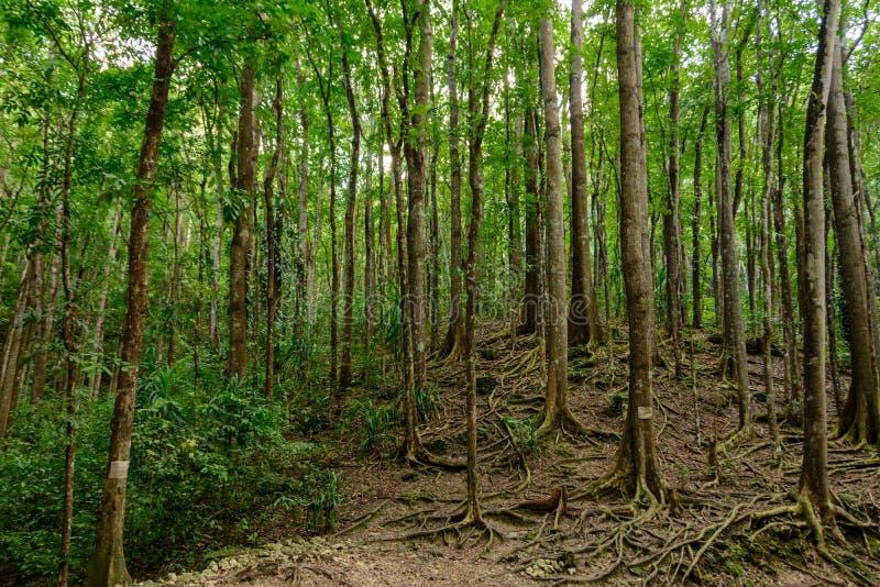 Bilar Forest Bohol artificiale, Filippine fotografia stock