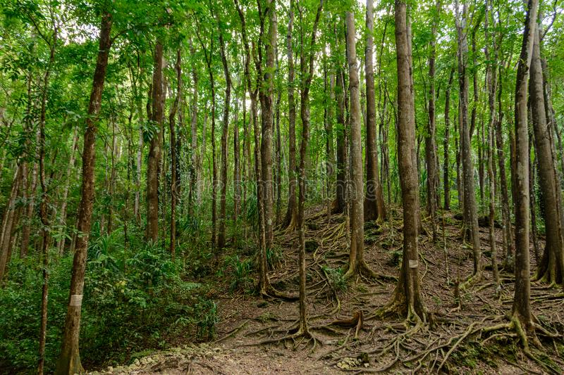 Bilar Man-Made Forest. Bohol, Philippines. Asia stock photography