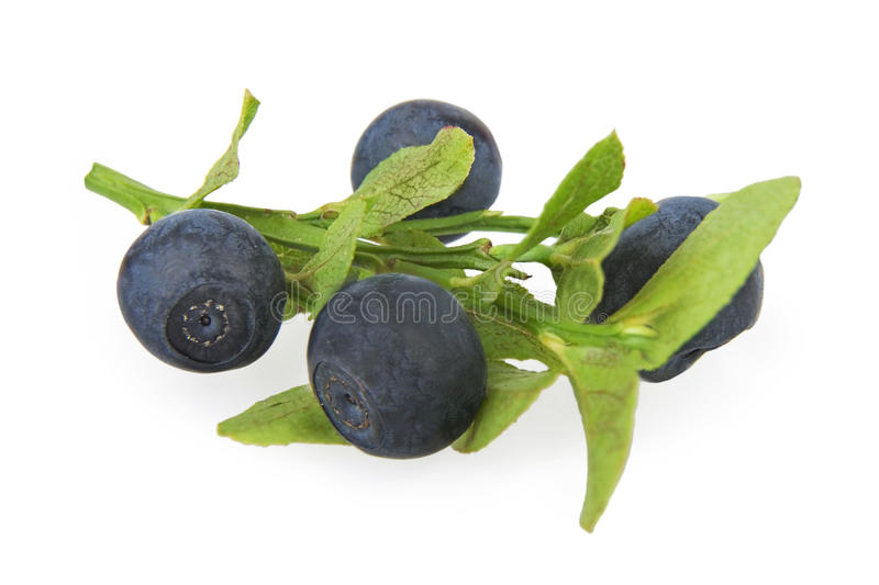 Bilberries. Ripe bilberries with leaves on white background royalty free stock photo