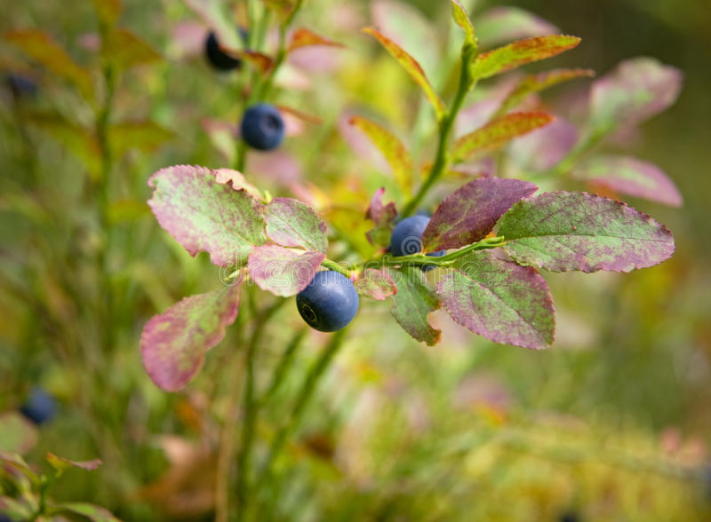 Bilberries. In a Swedish forest royalty free stock photography