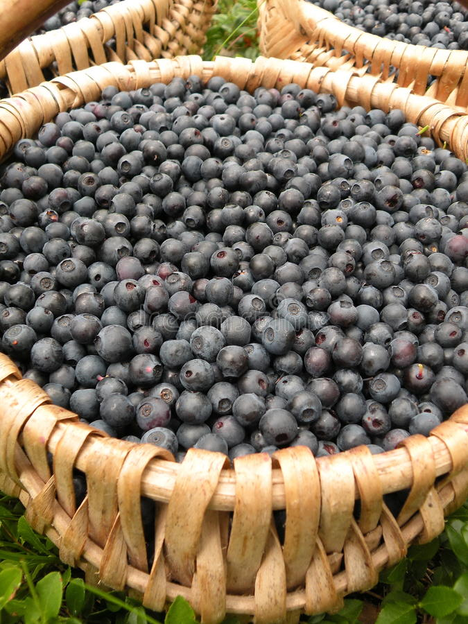 Bilberries. Fresh ripe bilberries pick in forest stock images