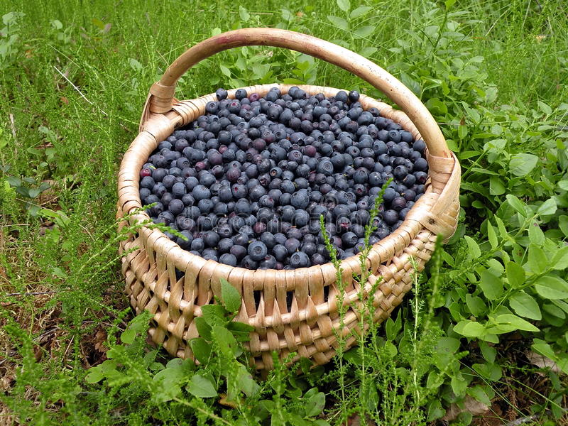 Bilberries in wicker. Wild bilberries in wicker pik at the forest stock photo