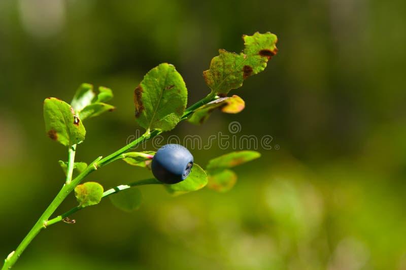Bilberry Stock Photos