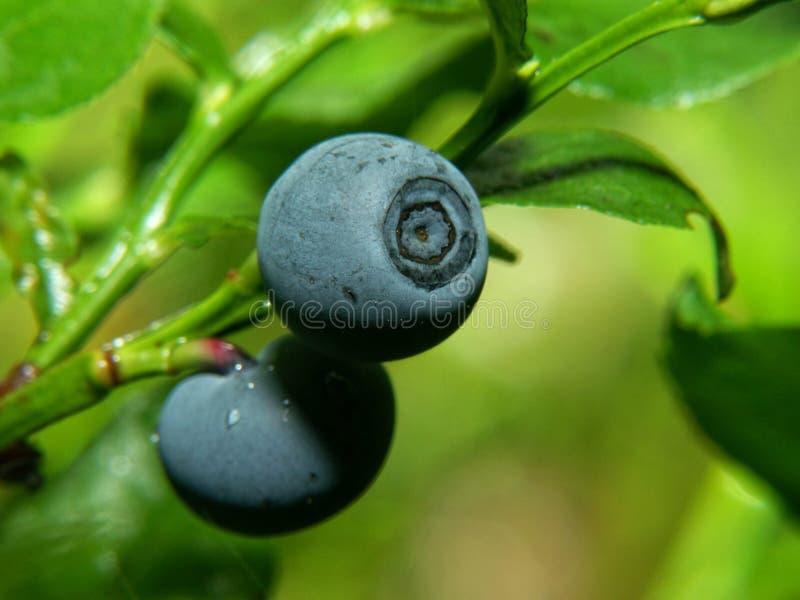 Bilberry. Closeup of Bilberry (vaccinium myrtillus stock photo