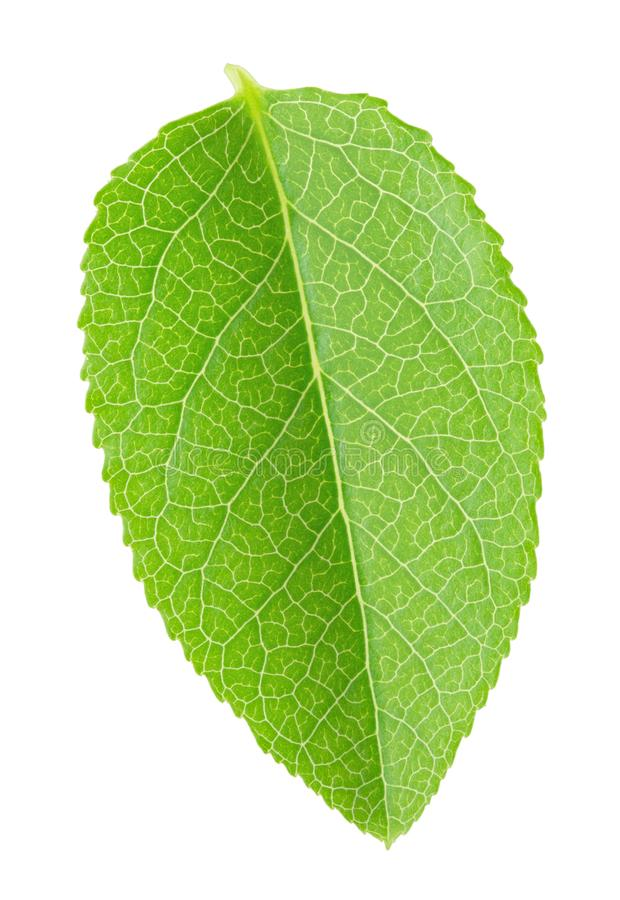 Bilberry leaf isolated on a white. Bilberry leaf on a white background. As design element stock images
