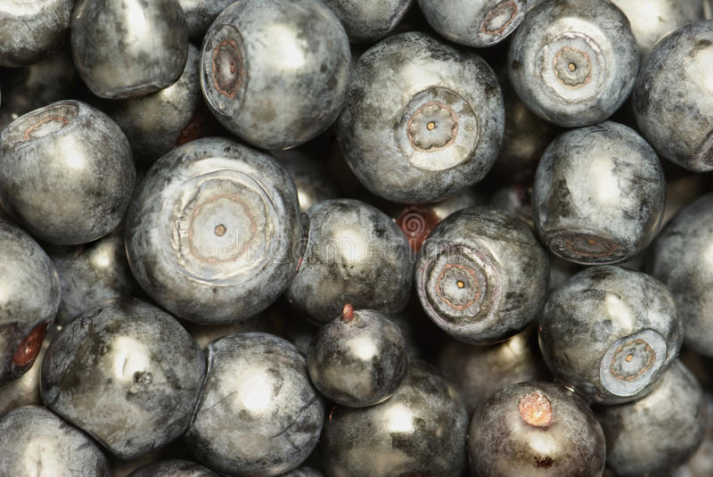 Download Bilberry-very A Useful Berry! Stock Photo - Image: 10779026