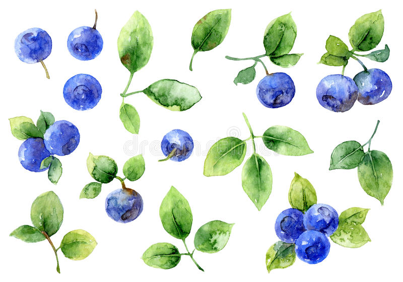 Bilberry on white background. Set of elements. Watercolor illustration vector illustration