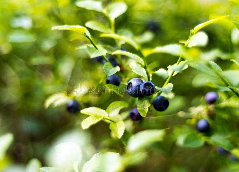 Bilberry, whortleberry or European blueberry. A closeup of bilberry sprig with fruits. (bilberry, whortleberry or European blueberry royalty free stock photography