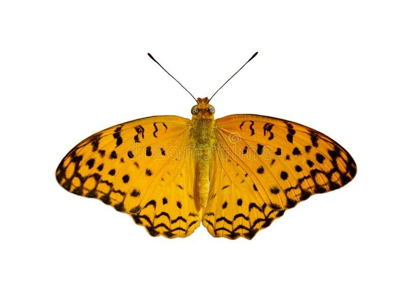 Bild allgemeinen Leopard-Schmetterling Phalanta-phalantha lokalisiert auf weißem Hintergrund insekt tiere stockfoto
