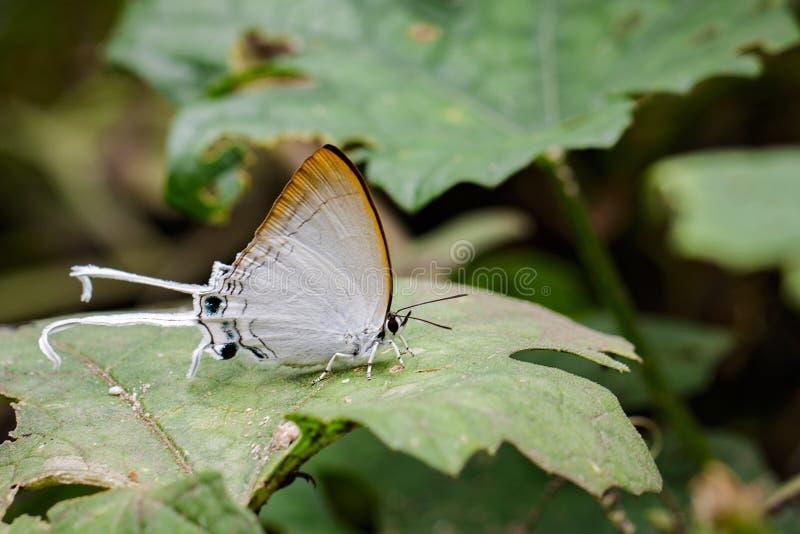 Bild allgemeinen lmperial Schmetterling Cheritra-freja evansi stockfotos