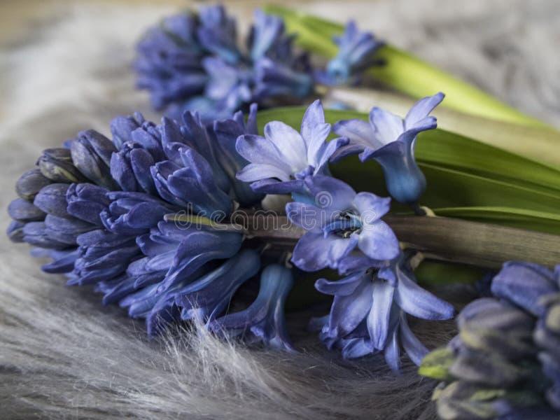 Bild av blå hyacith på den gråa mattan arkivbild