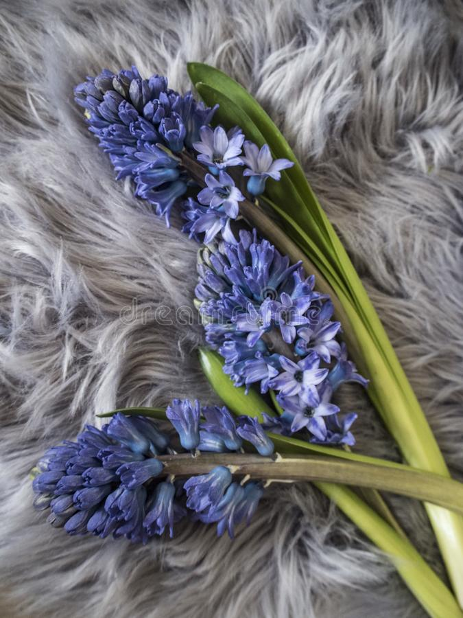 Bild av blå hyacith på den gråa mattan royaltyfri foto