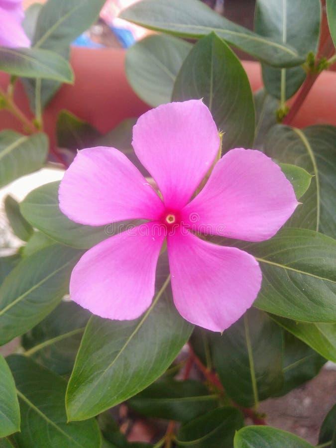 Bild av blomma i periwinkle royaltyfri bild