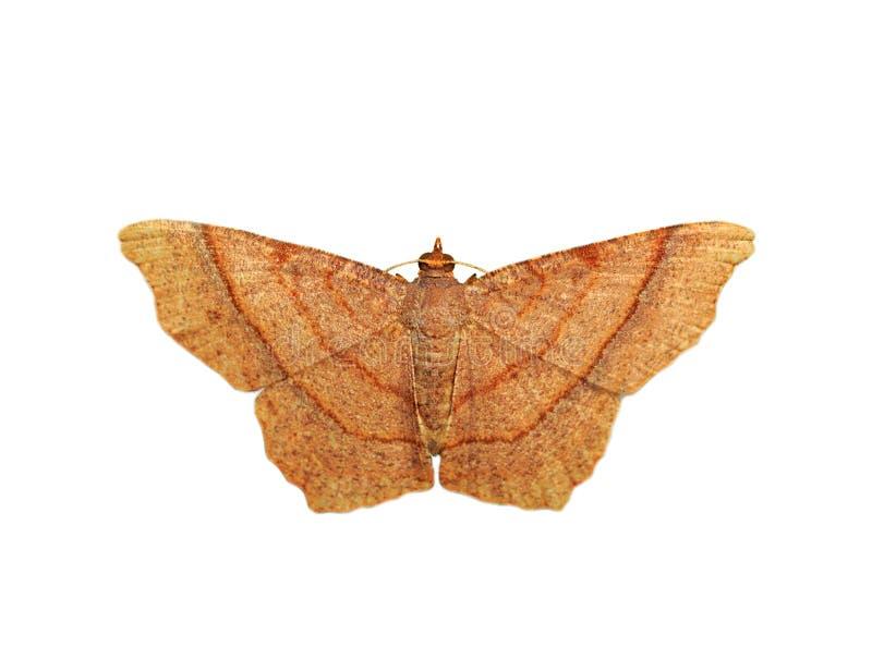 Bild av brun butterflyMoth som isoleras på vit bakgrund kryp anhydrous royaltyfria bilder