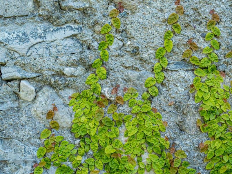 Bild av den bevuxna gamla stenväggen med gröna växter royaltyfri fotografi