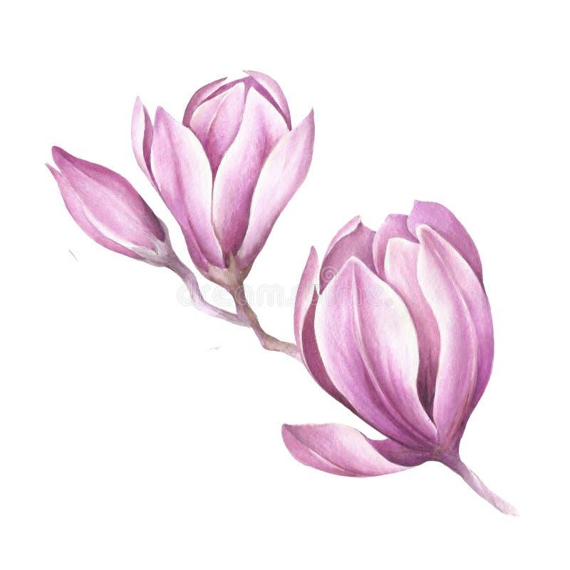Bild av den blommande magnoliafilialen för flygillustration för näbb dekorativ bild dess paper stycksvalavattenfärg stock illustrationer