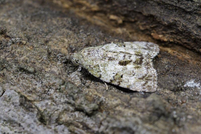 Bild av den bruna malNannoarctia tripartitaen på träd kryp arkivbilder