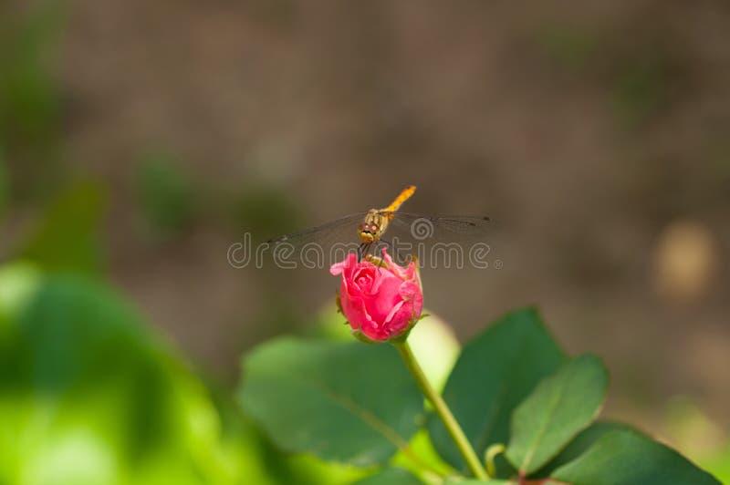 Bild av den härliga sländan i en trädgård arkivfoton