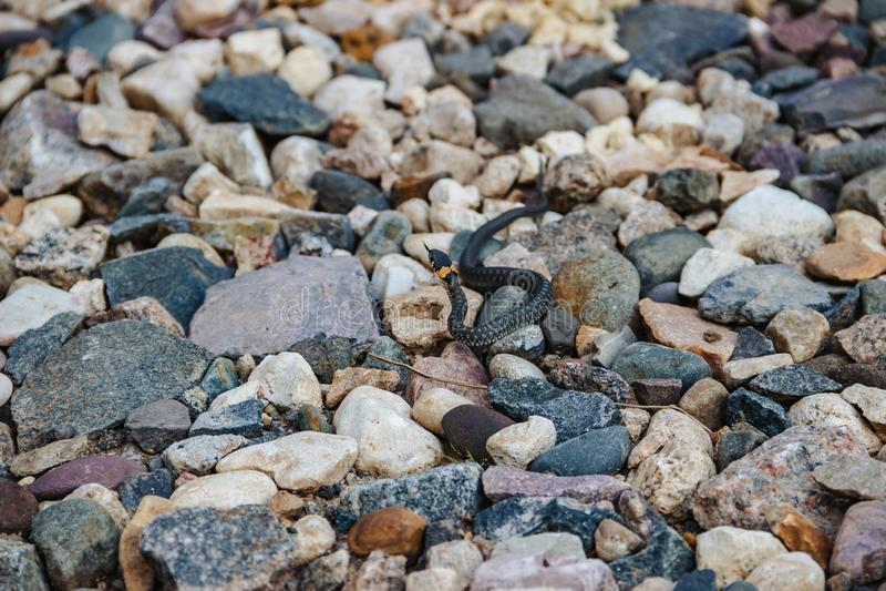 Bild av den lilla snoken som kryper p? stenarna royaltyfri foto