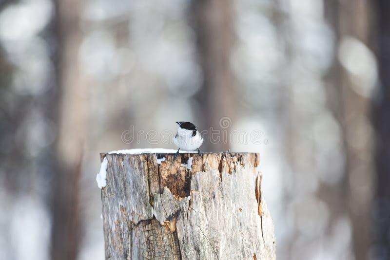 Bild av den mycket lilla fågeln Marsh Tit eller Poecile palustris som sitter på stubben och pickar frö i vinterskogen royaltyfria bilder