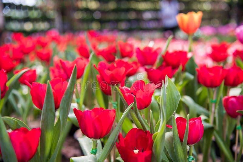 Bild av den röda tulpanblomman Härlig tulpanbukett färgrikt I royaltyfria bilder