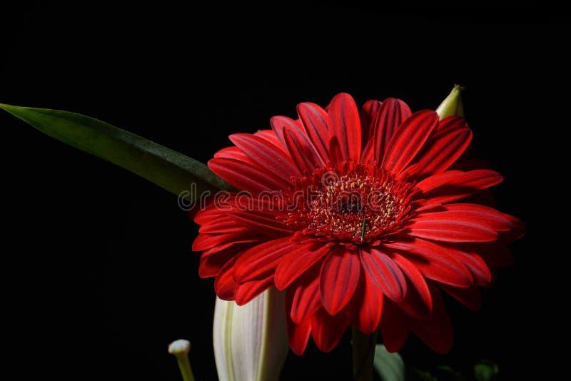 Bild av den röda tusenskönagerberablomman på svart bakgrund lampor royaltyfri fotografi
