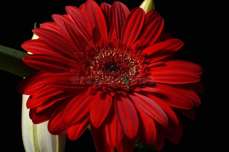 Bild av den röda tusenskönagerberablomman på svart bakgrund lampor arkivbilder