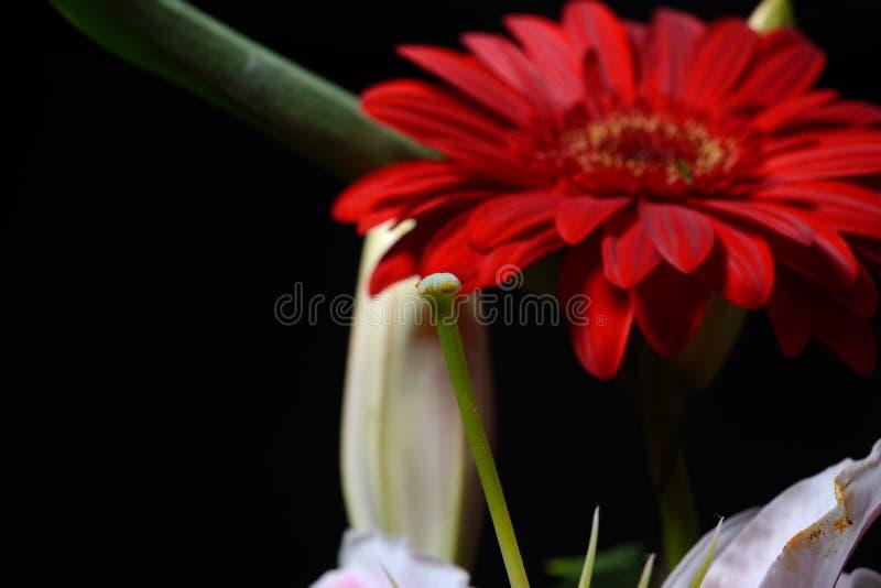 Bild av den röda tusenskönagerberablomman på svart bakgrund lampor royaltyfria foton