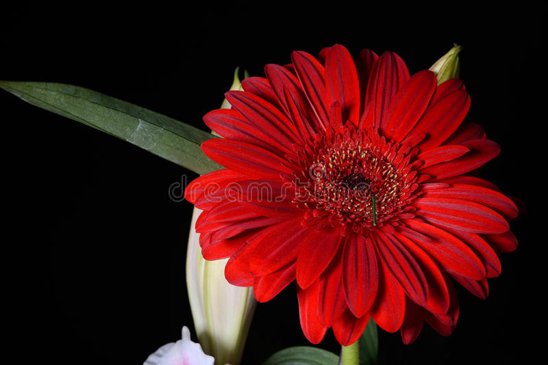 Bild av den röda tusenskönagerberablomman på svart bakgrund lampor fotografering för bildbyråer