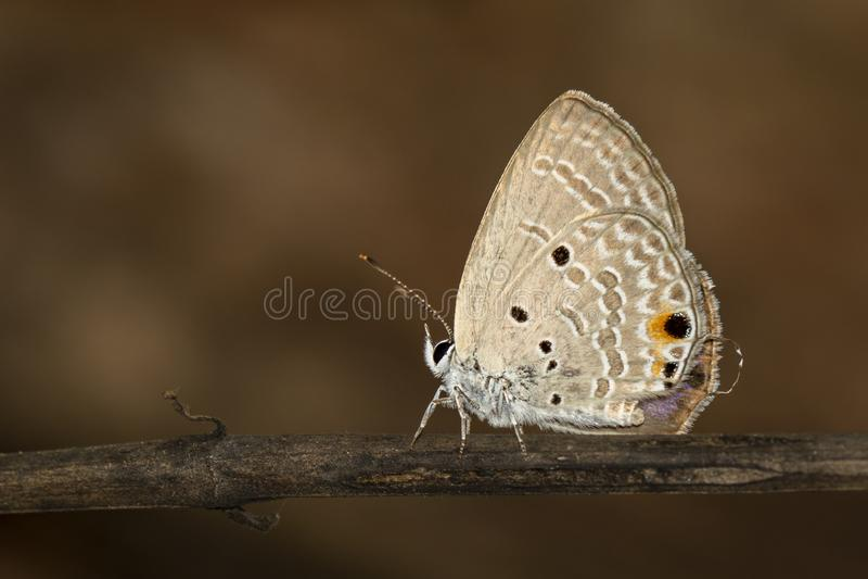 Bild av den vanliga kupidonbutterflyChiladespandavaen på brun filial på en naturlig bakgrund kryp angus arkivfoto