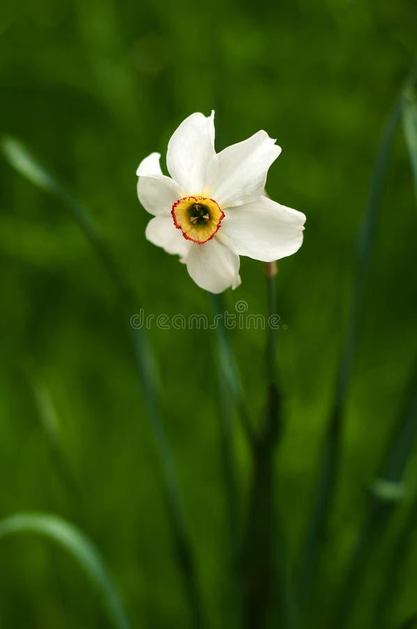 Bild av den vita påskliljan med den gula trumpeten med den selektiva fokusen fotografering för bildbyråer