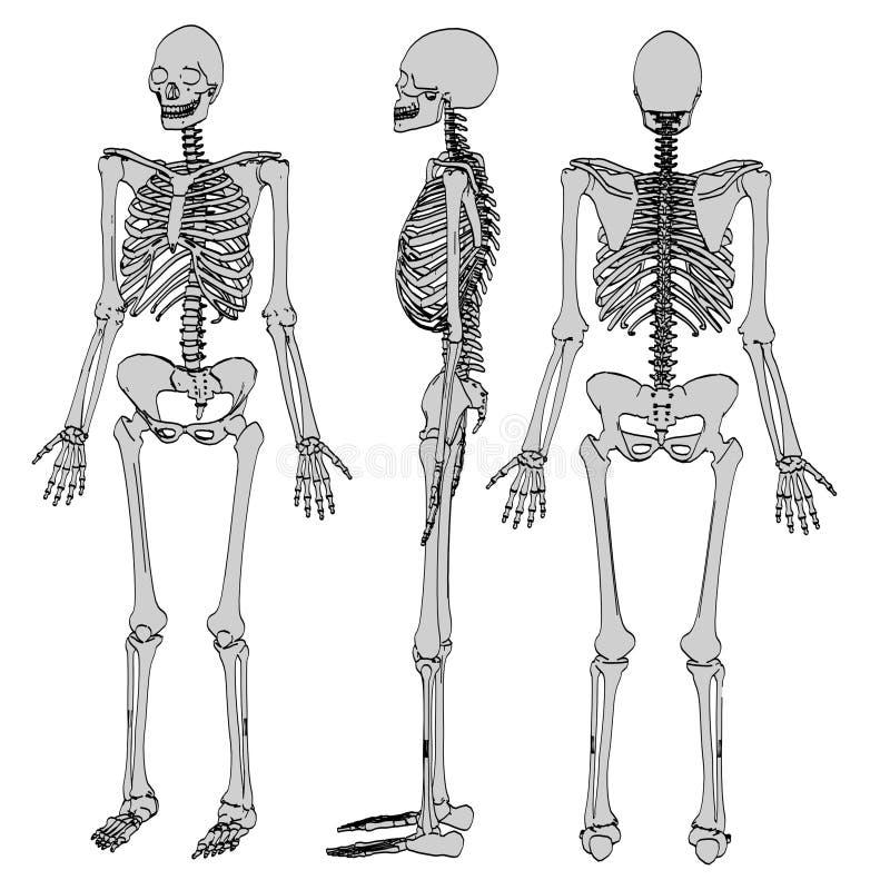 Bild av det kvinnliga skelettet royaltyfri illustrationer
