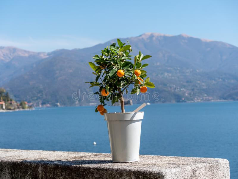 Bild av det lilla kumquatträdet i en kruka på en stenvägg med sjön i bakgrunden royaltyfri bild