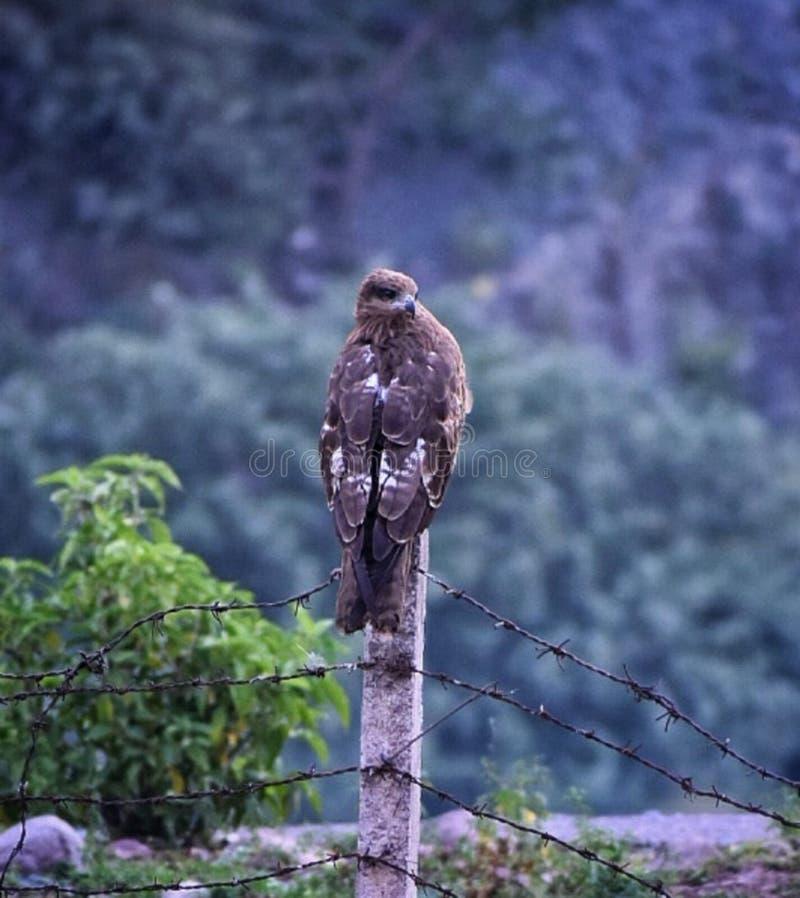 Bild av en örn som sitter på en pol som earling i morgonen med suddighetsbakgrund arkivbild