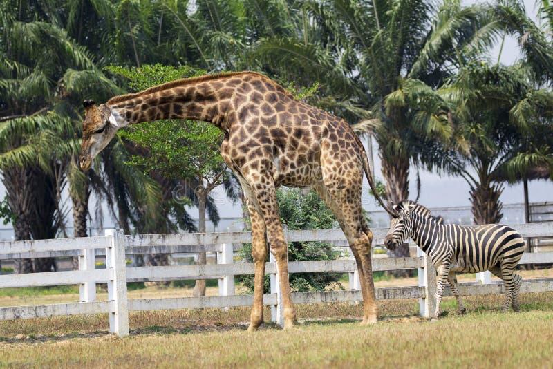Bild av en giraff och en sebra på naturbakgrund fotografering för bildbyråer