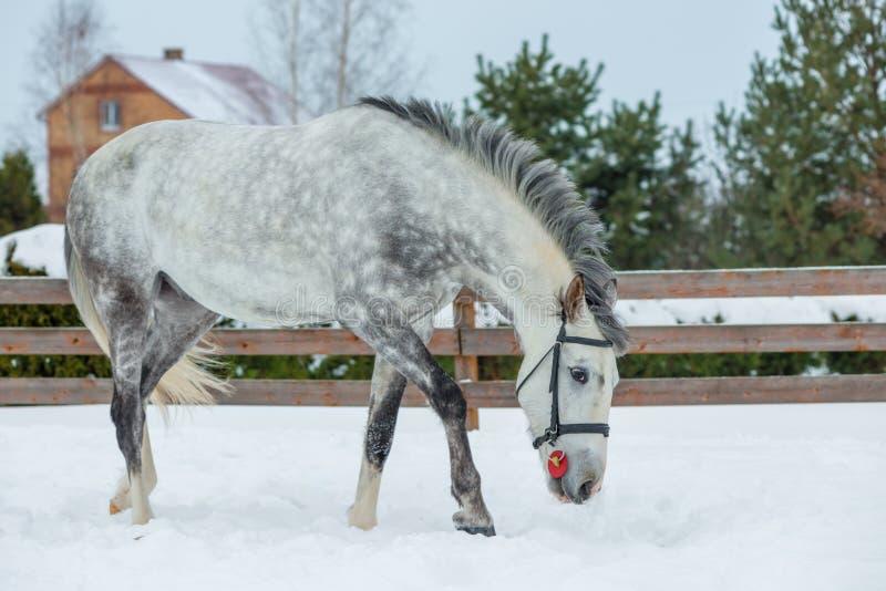 Bild av en grå härlig häst på en ranch royaltyfri bild