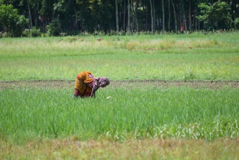 Bild av en kvinnabonde som brukar på fält på en lantgård för lantlig by royaltyfri bild