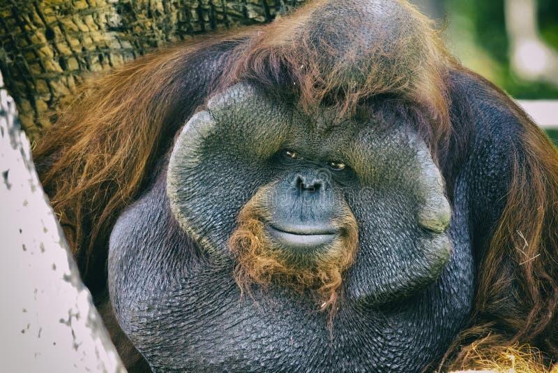 Bild av en orange apa för stor manlig orangutang royaltyfria foton