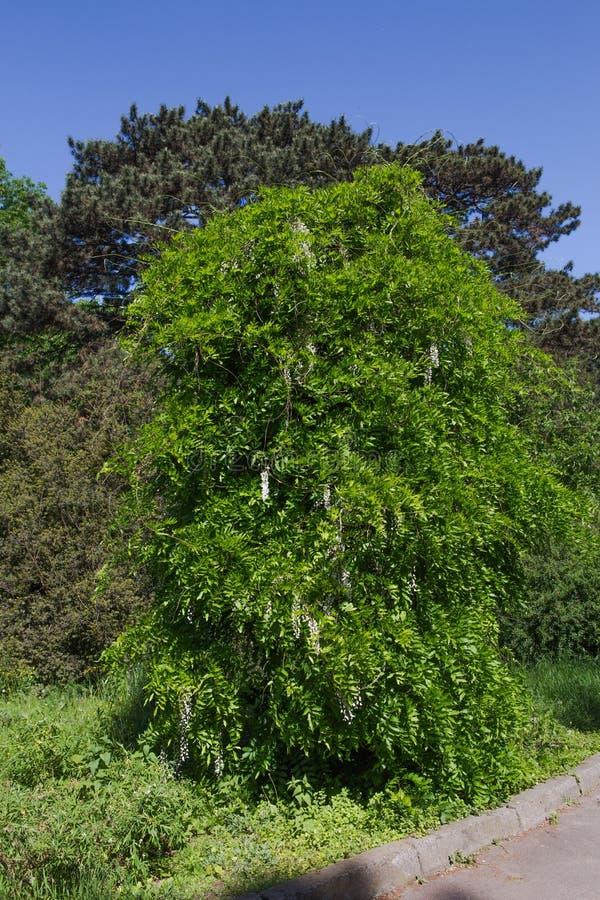 Bild av en stor wistariaväxt i en trädgård arkivfoto