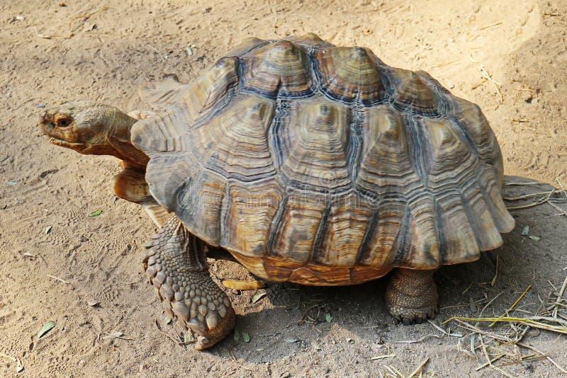 Bild av en Sulcata sköldpadda som går på jordningen arkivfoton