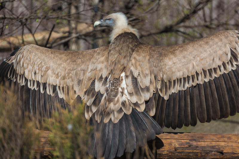 Bild av Griffon Vulture Gyps Fulvus på en suddig bakgrund arkivfoto