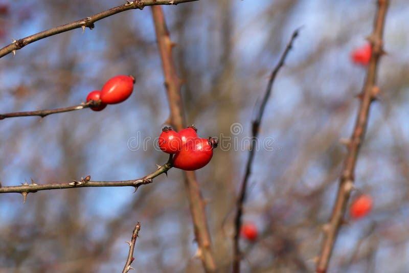 Bild av höstdogrosebusken med mogna röda bär i kallt väder De sista sidorna på dogrosebusken i nedgång Naturlig källa av arkivfoton