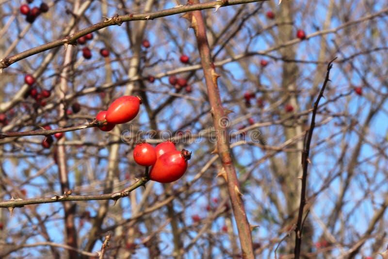 Bild av höstdogrosebusken med mogna röda bär i kallt väder De sista sidorna på dogrosebusken i nedgång Naturlig källa av arkivfoto