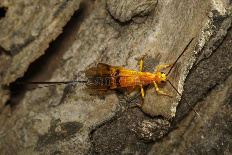 Bild av Ichneumongetingen på trädet kryp arkivfoton