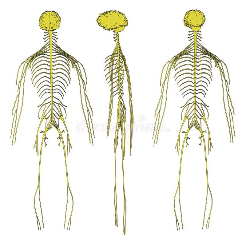 Bild av nervsystemet stock illustrationer