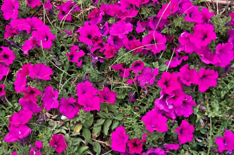 Bild av purpurfärgade blommor i en trädgård arkivbild